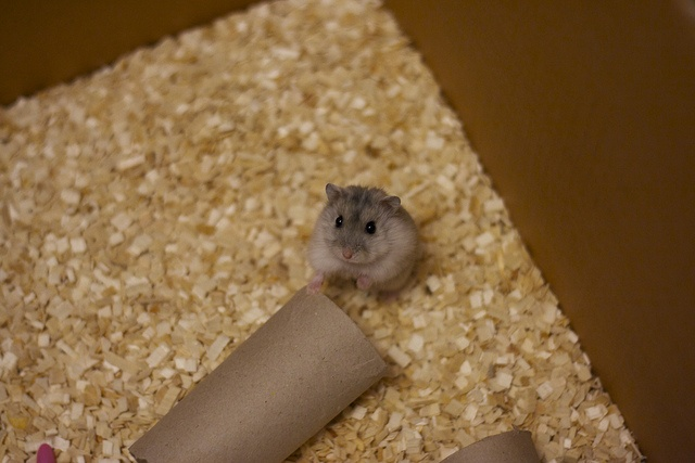 Small hamster in a big world. Normal pearl Winter White female