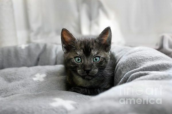 A sweet little #Kitten with gorgeous aqua eyes. #Aqua #Eyes by #Kaye_Menner #Photography Quality Prints Cards Products with a Money Back guarantee at: https://kaye-menner.pixels.com/featured/aqua-eyes-by-kaye-menner-kaye-menner.html
