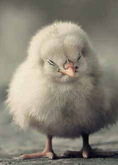 I shall buy a dozen of these cuties to add to my dream barn.  A dozen chicks = several dozen eggs!
