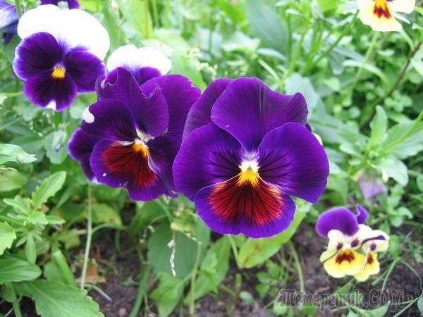 Фиалка Виттрока: секреты выращивания и лучшие сорта
