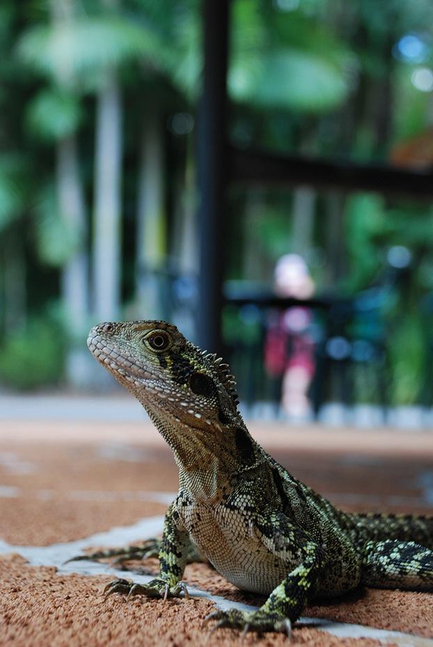Lizard, Australia Zoo.