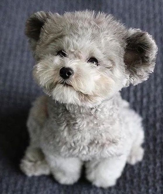 """I wonder if this doggy is real? Previous pinner says, """"Fuzzy Muppet Puppy."""" It was saved under a dog toy hub board (leading me to think it is a toy). It's very difficult to tell if it's real or not, as it's very life-like, even with the rounded, teddy-bear ears. He's actually too cute to be real!"""
