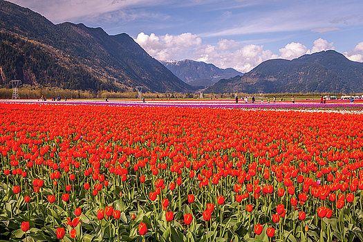 Art Calapatia - Orange Tulips 2