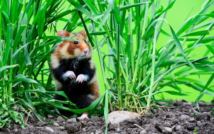 Wild hamsters of Alsace-Endangered