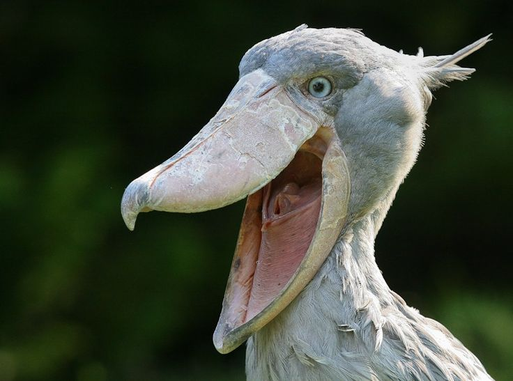 The Shoebill looks like a large stork, and is known to inhabit swampy areas around Eastern Africa. Description from lolwot.com. I searched for this on bing.com/images