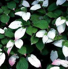 Køb Kamæleonbusk Actinidia kolomikta online. Levering til døren. Find et stort udvalg af slyngplanter til gode priser.