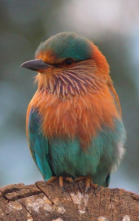 Indian Roller - Bird