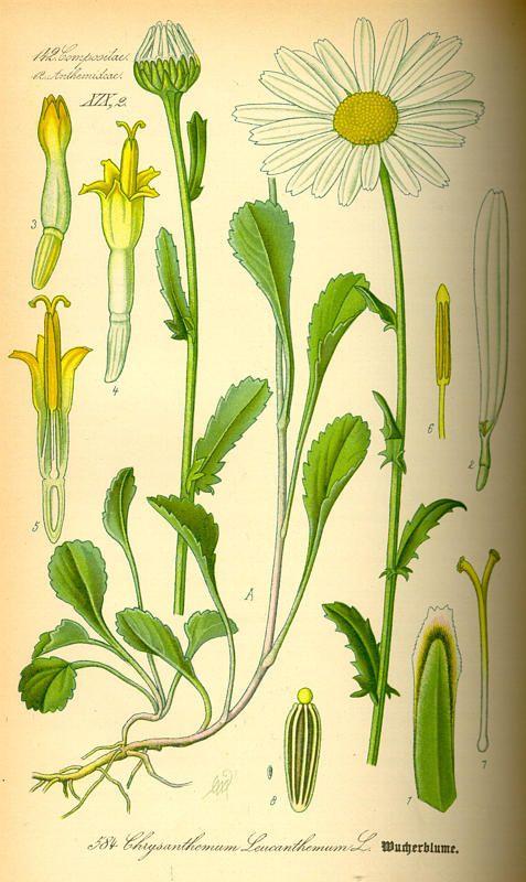 oxeye daisy botanical print