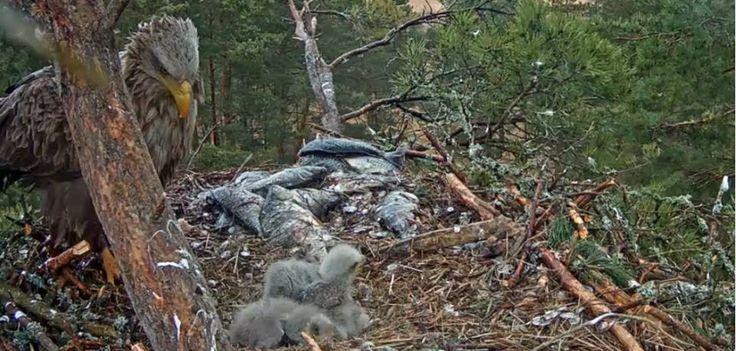 Eagle nest with small eagles. Orel mořský s mláďaty