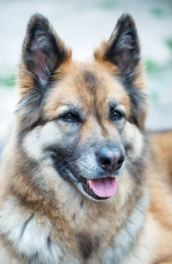 German Shepherd Husky Mix Temperament Care Guide And Facts All