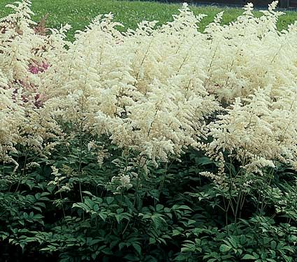 love astilbe... will need to find a better location for it this year though.
