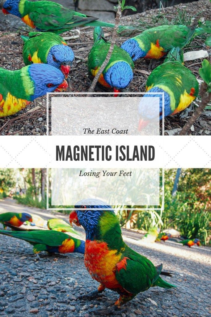 Parrots, echidnas, and rock wallabies! Magnetic Island is just a quick ferry ride off the mainland of Townsville, Australia and has more than enough wildlife to fill an afternoon!