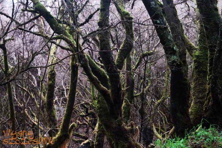 Laurowy las trzeciorzędowy w Parku Narodowym Garajonay #LaGomera