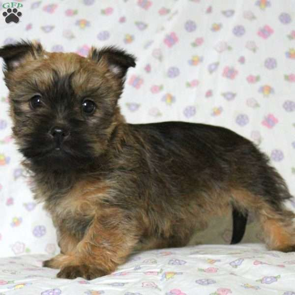 Ashlea Cairn Terrier Mix Puppy Look Like Little Bears See