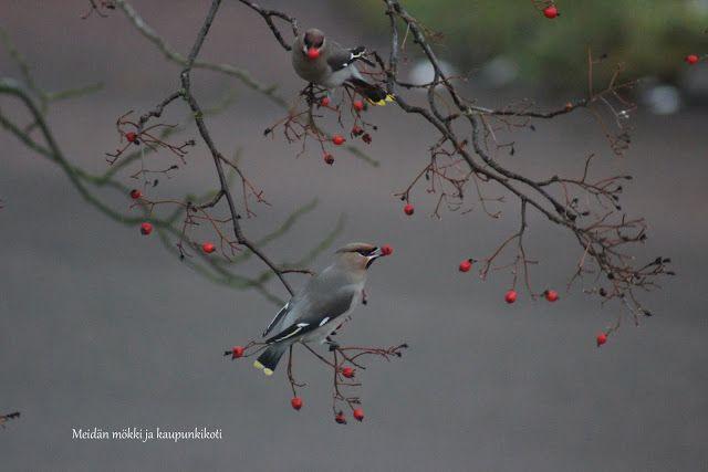 Meidän mökki ja kaupunkikoti : VILLIT LINNUT - WILD BIRDS