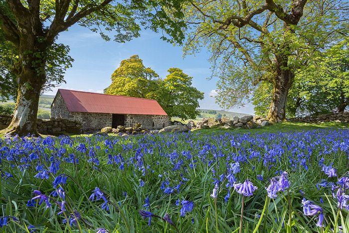 Emsworthy spring bluebells, Dartmoor  ASC Photography - Landscape Pictures of Dartmoor, Devon and Cornwall