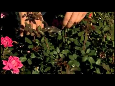"""▶ Knock Out® Family of Roses -- Pruning and Fertilizing - can prune at the beginning of the growing season when the forsythias are blooming. by lopping off top leaving just 12-18"""" of stems. The rose bush will triple in size during the summer. After pruning, fertilize plants."""