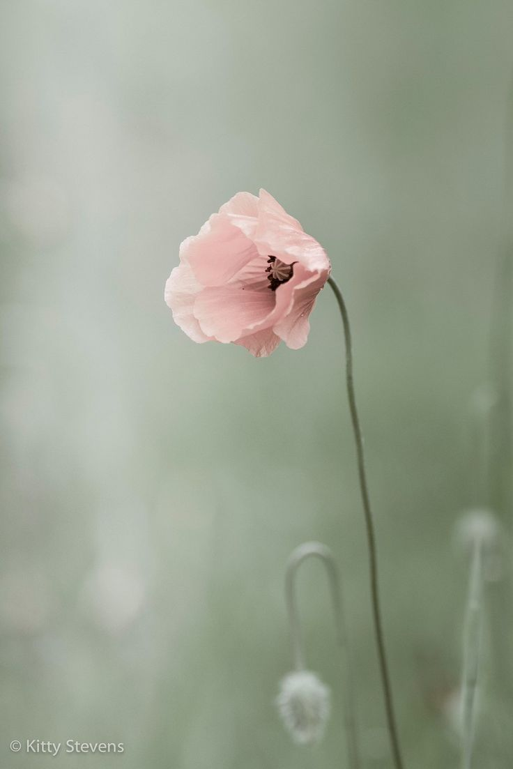 Klaproos,Poppy. I want this color poppy everywhere!!