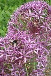 Allium christophii- Bulbs