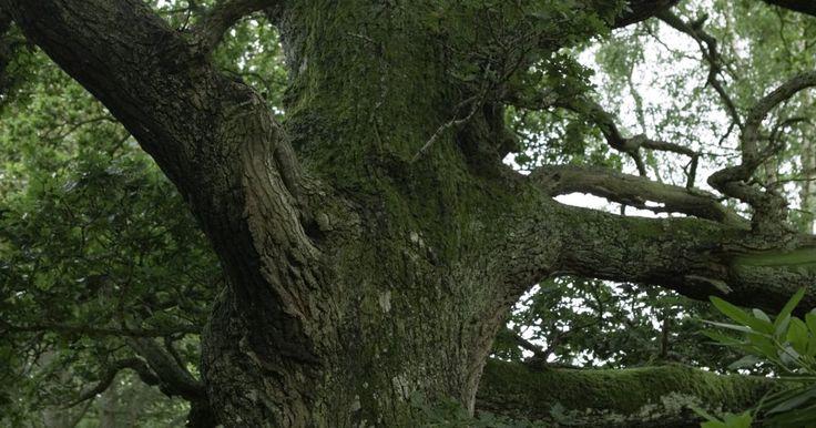 Cómo cuidar de los robles. El roble, roble blanco, roble negro y el azul japonés son sólo algunas de las muchas especies de roble (Quercus). Algunos son perennes, otros pierden sus hojas en otoño. Encontrarás robles adaptados a la vida en las montañas, en la ciudad y en la costa. Esa diversidad dentro de la especie crea requisitos variables entre los árboles, resultando ...