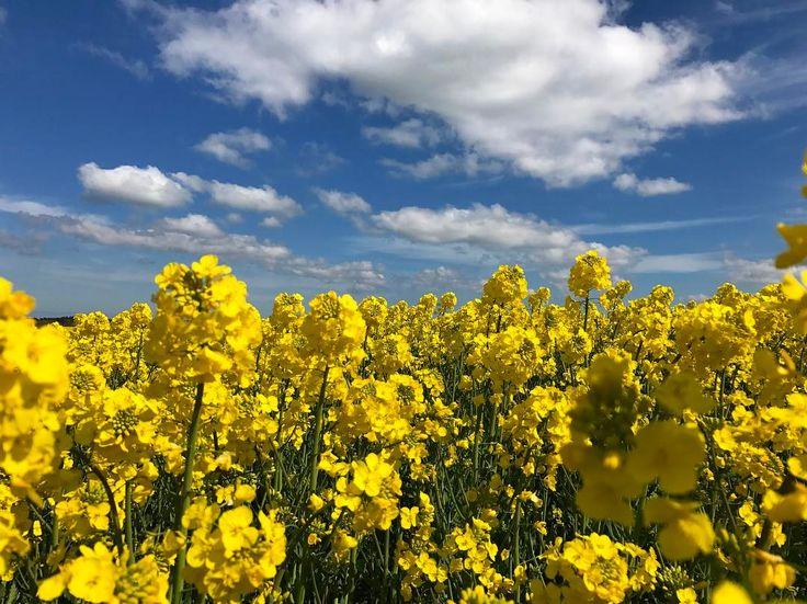 Fields of rapeseeds cover the Danish landscape in these days #danishadventurer #denmark #visitdenmark #visitnordjylland #yellow #rapeseed