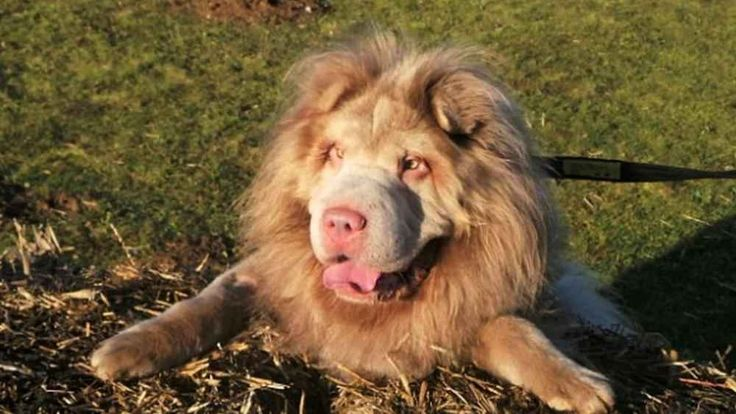 Tydus: ecco il cane fantastico che assomiglia ad un leone «Tydus vanta un pelo cosi soffice e particolare che lo fa assomigliare tantissimo ad un leone», questo è quanto rivelato dalla propria proprietaria, Yumna Saloojee. Il cane esattamente è un Alaskan m #cane #leone #tydus