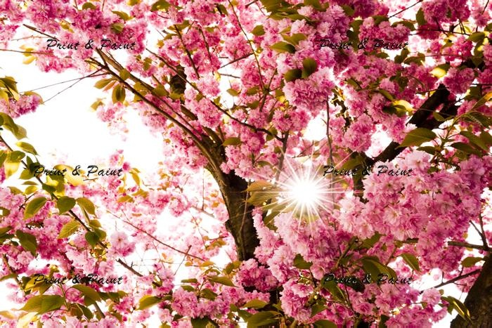 Cherry blossoms with the sun