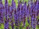 Steppensalbei, Ziersalbei (Salvia nemorosa) - Gartenratgeber.net