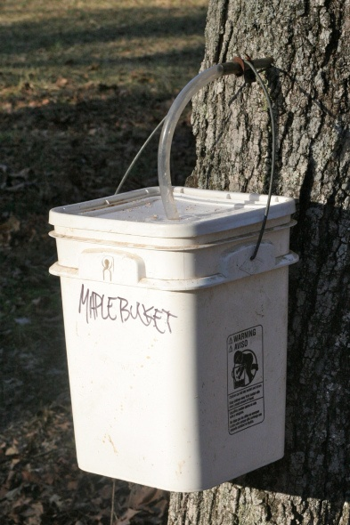 How to tap maple trees for sap. Making homemade maple syrup