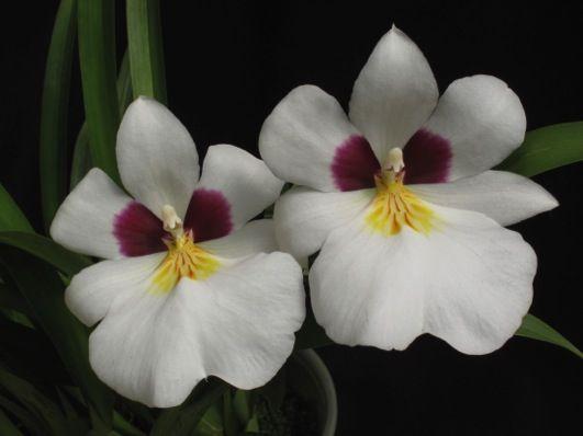 Miltoniopsis phalenopsis (Santander) - Sociedad Colombiana de Orquideología