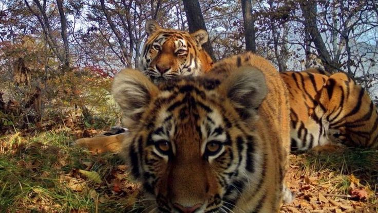 Image copyright                  Land of the Leopard national park             Image caption                                      The images capture the rare wild cats at play in the wilds of Siberia                               Intimate photos of rare Siberian tigers in the... - #Pictures, #Rare, #Released, #Selfie, #Siberian, #Tiger, #World_News