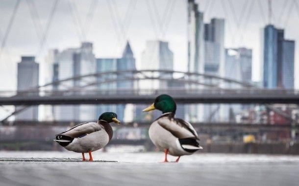 Entenhausen am Main: Wasservogel-Niederlassung in Flussnähe