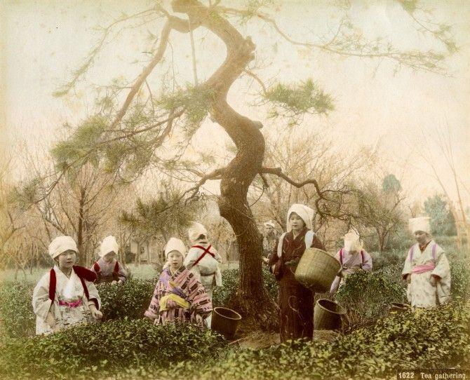 Gathering Tea, Albumen, Japan Circa 1880s