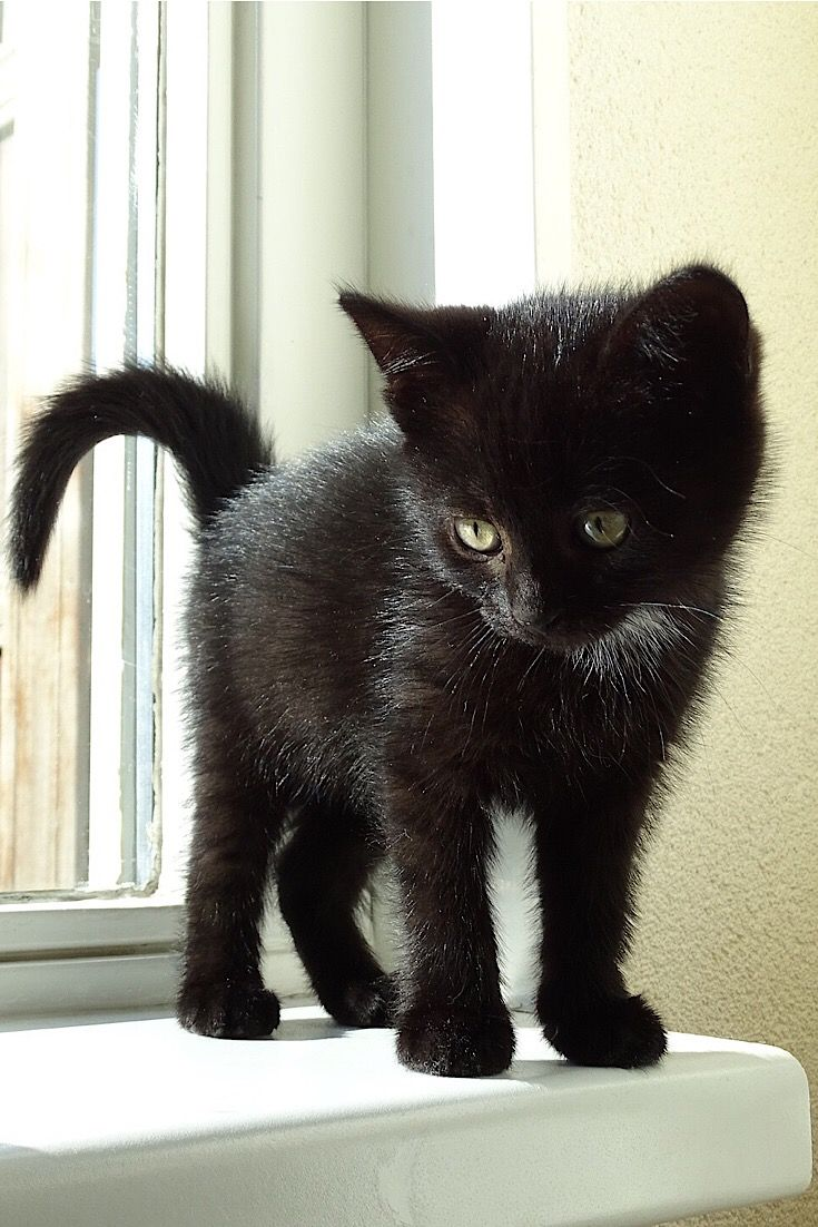 Cute Black Kitten In 2020 Cute Black Kitten Cute Black Cats Kittens Cutest