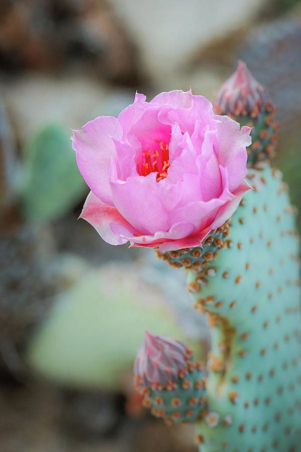 Beavertail Cactus Flower by Alexander Kunz infinitealoe.com