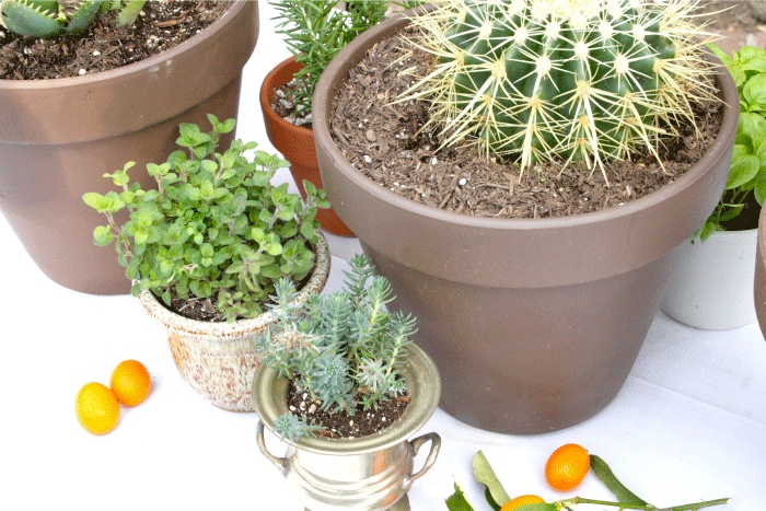 Wüsten und Wildkräuter-Garten-Grün