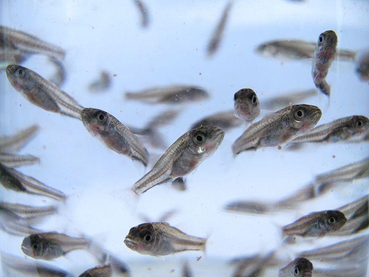 Yavru balık üretiminden paketlemeye kadarki tüm süreçlerde tam entegre tesislerde üretim yapan Kılıç; çipura, levrek ve alabalık yetiştirme kapasitesiyle bu alanda bir dünya lideri olmayı başarmıştır. Deneyimli uzman kadrosuyla, gelişen teknolojileri yakından takip eden Kılıç, yurt içi ve yurt dışından gelen yavru balık taleplerini kaliteli, sağlıklı ve uygun maliyetlerle karşılar.