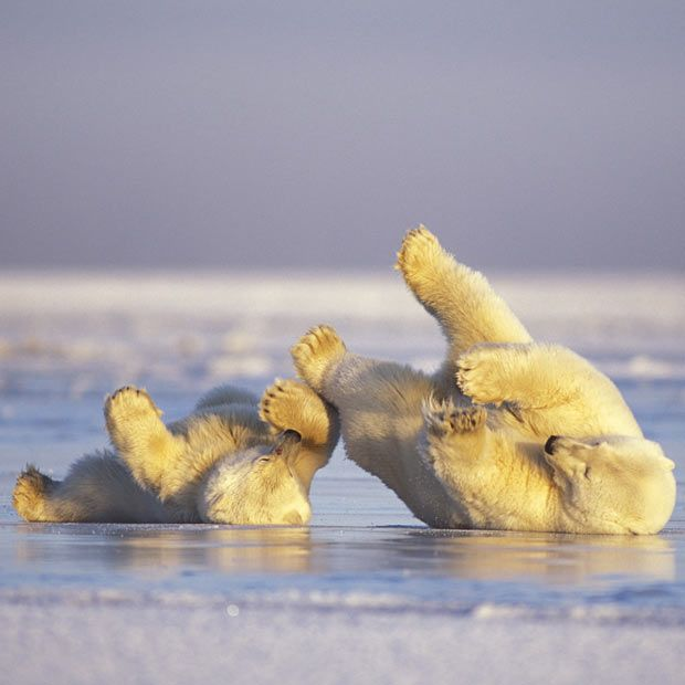 A polar bear cub and his mother lark about on the frozen water, skidding about, then jumping in the icy waters. Wildlife photographer Steven J Kazlowski captured the moment off the coast of the Arctic National Wildlife Refuge in Alaska