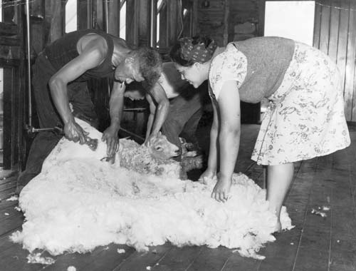 Sheep shearing developed as a seasonal enterprise. Because sheep were extremely plentiful there was always plenty of work. Shearers were hard working and dedicated to their craft and to the welfare of their sheep. Because of the large 'gang' that was employed to shear the sheep, it became a trade often dominated by Maori kin groups (whanau). The annual 'Golden Shears' tournament attracted huge crowds and was mainstay of rural events in the 20th century