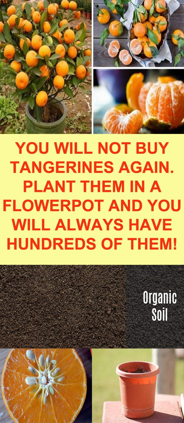 PLANT IN A POT!!! || ♡ DID YOU KNOW THAT TANGERINES HAVE ANTI-INFLAMMATORY PROPERTIES??? I didn't! ♥A