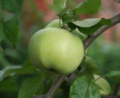 #Apfelsalbe Die Apfelsalbe ist nicht so bekannt, aber sehr leicht herzustellen. Dieses Rezept ist von 1788 und wurde mit Schweineschmalz hergestellt. In jüngeren Rezepten nahm man dann ungesalzene Butter. Sie diente den Menschen bei aufgesprungenen und rissigen Händen und Lippen. Zubereitung: Die Äpfel werden geschält und kleingeschnitten. Dann füllt ihr die Apfelstücke in einen Kochtopf und […]