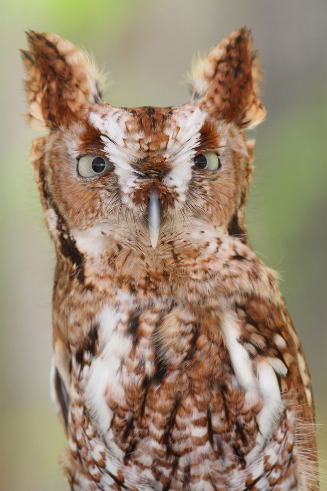 Eastern screech owl - Found throughout eastern North America from Canada to Mexico, this short and stocky species has a misleading name. It doesn't actually screech, but makes a descending tremolo call. Still, it is usually heard rather than seen.