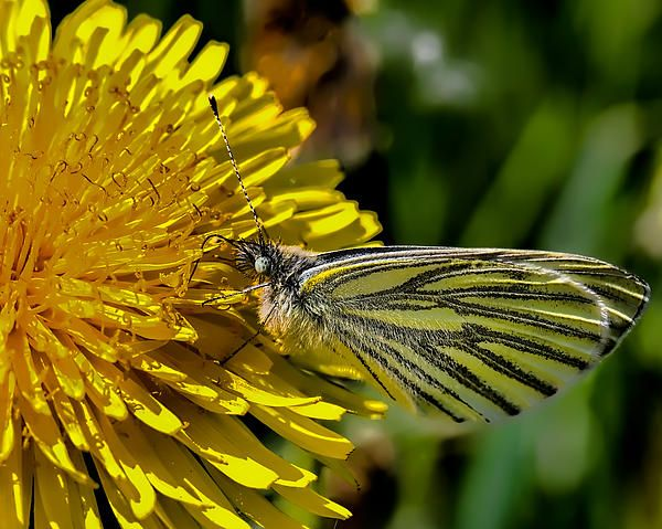 Green-veined White Butterfly Collecting Nectar From A Flowering Yellow Dandelion. Leif Sohlman