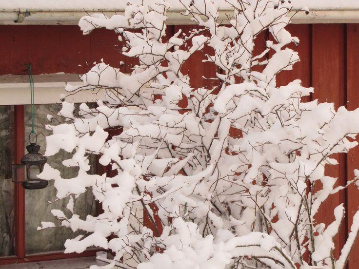 Juhannusruusun lumiset oksat