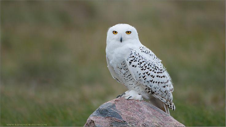 Raymond Barlow Workshops Program: Snowy Owl Workshop with Raymond Barlow