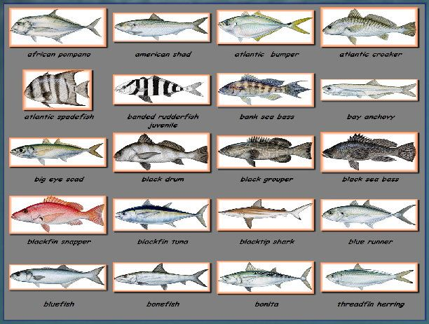 17 best images about florida fishes on pinterest fishing for Florida game and fish