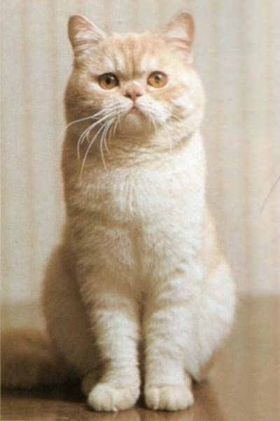 Cream British Shorthair My fave ... I have a red Brit Female.. Such personality :)