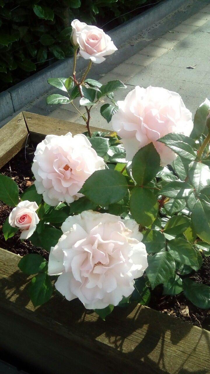 Prachtige 'rosa A Whiter Schade of Pale', heerlijk geurend! 🌹🔝