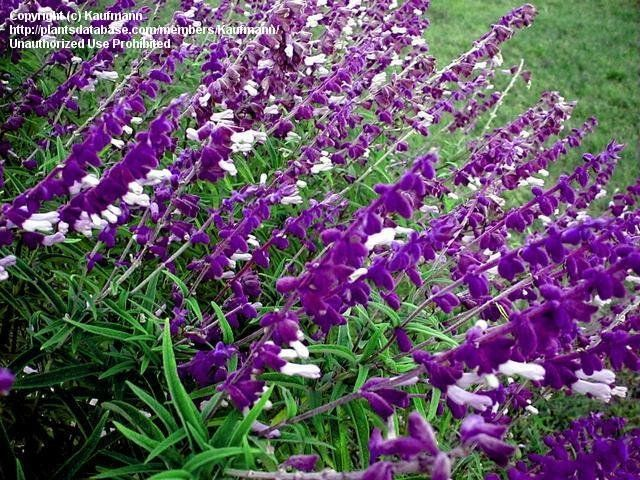 by Kaufmann Mexican Bush Sage Butterfly Garden Salvia