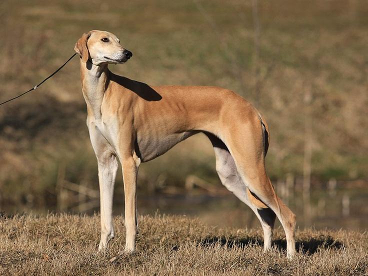 Sloughi / Berber Greyhound / Sloughi Moghrebi / Arabian Sighthound #Dogs